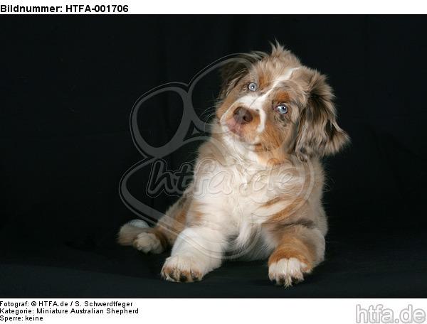 Miniature Australian Shepherd Welpe / miniature australian shepherd puppy / HTFA-001706