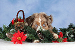 Miniature Australian Shepherd Welpe / miniature australian shepherd puppy
