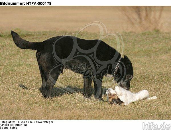 Mischling und Rarson Russell Terrier / mongrel and Rarson Russell Terrier / HTFA-000178