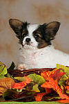 Papillon Welpe / papillon puppy