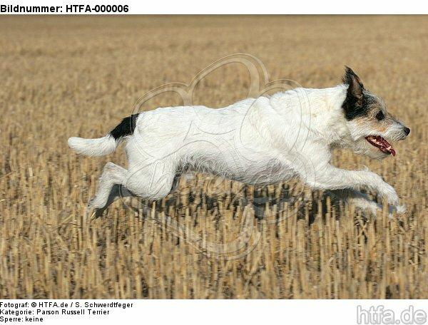 rennender Parson Russell Terrier / running PRT / HTFA-000006