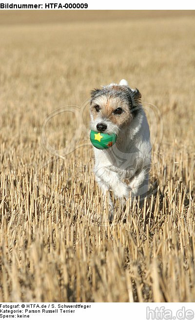 spielender Parson Russell Terrier / playing PRT / HTFA-000009