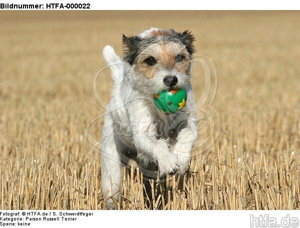 spielender Parson Russell Terrier / playing PRT / HTFA-000022