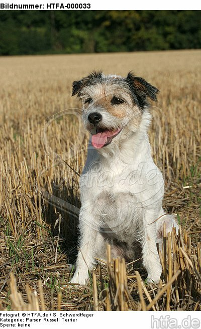 sitzender Parson Russell Terrier / sitting PRT / HTFA-000033