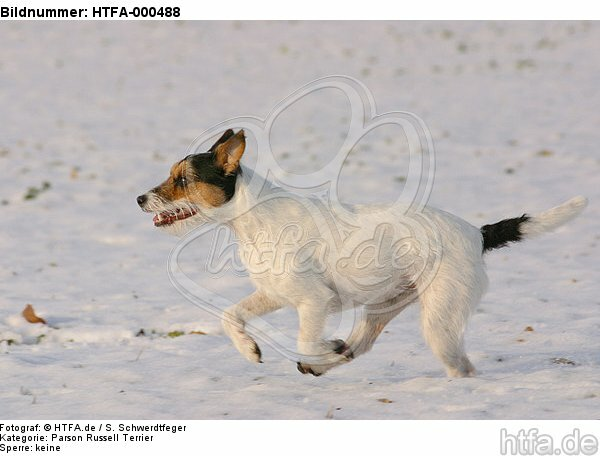 Parson Russell Terrier rennt durch den Schnee / running PRT in snow / HTFA-000488
