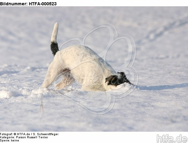 spielender Parson Russell Terrier im Schnee / playing prt in snow / HTFA-000523