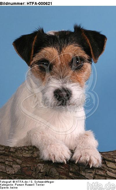 Parson Russell Terrier Portrait / HTFA-000621