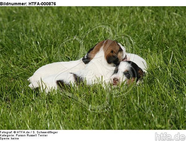Parson Russell Terrier Welpen / parson russell terrier puppies / HTFA-000876