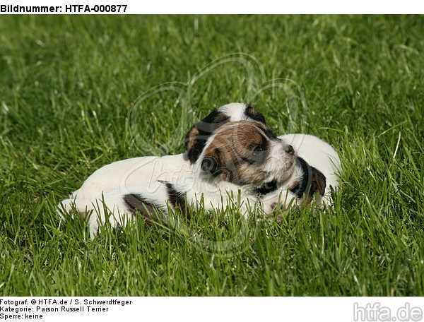 Parson Russell Terrier Welpen / parson russell terrier puppies / HTFA-000877