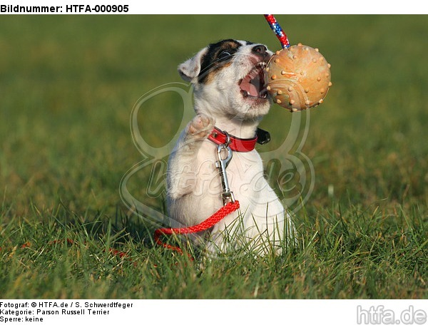 spielender Parson Russell Terrier Welpe / playing PRT puppy / HTFA-000905
