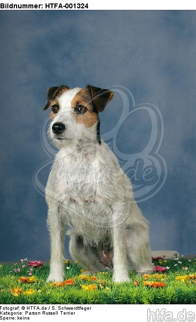 Parson Russell Terrier / HTFA-001324