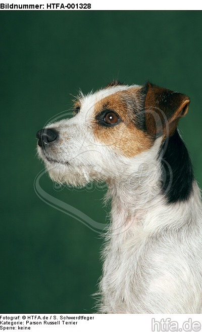 Parson Russell Terrier / HTFA-001328