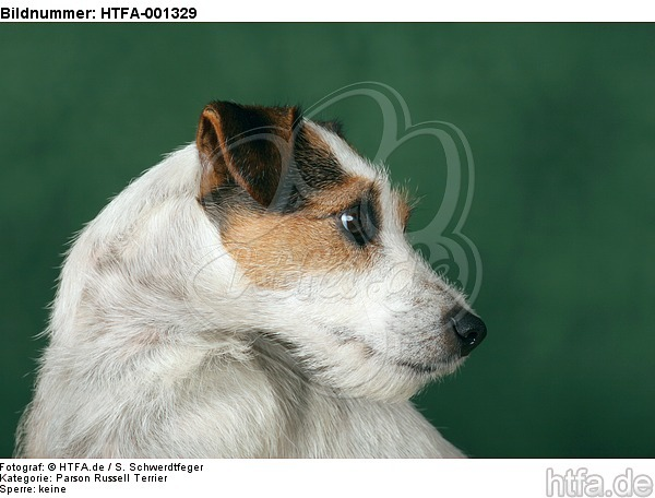 Parson Russell Terrier / HTFA-001329