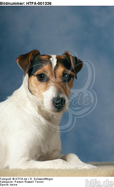 Parson Russell Terrier / HTFA-001336