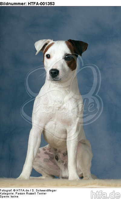 Parson Russell Terrier / HTFA-001353