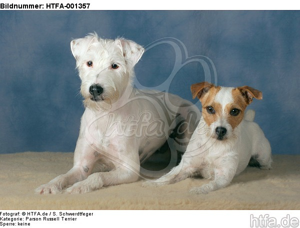 Parson Russell Terrier / HTFA-001357