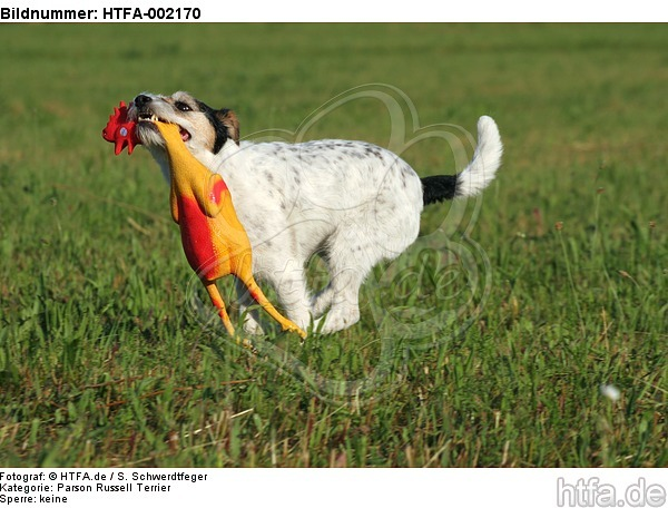 Parson Russell Terrier / HTFA-002170