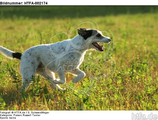 Parson Russell Terrier / HTFA-002174
