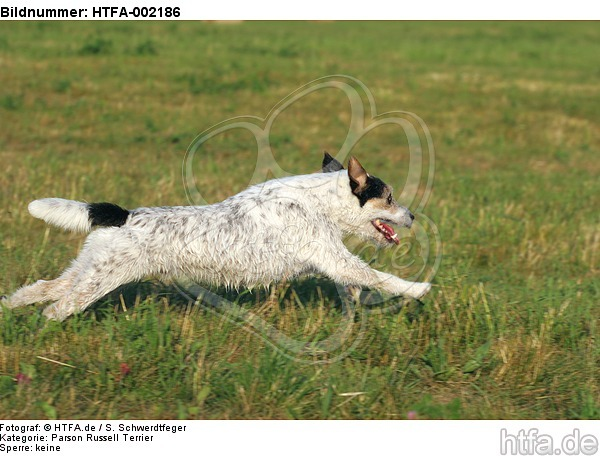 Parson Russell Terrier / HTFA-002186