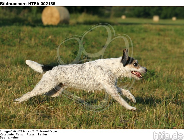 Parson Russell Terrier / HTFA-002189