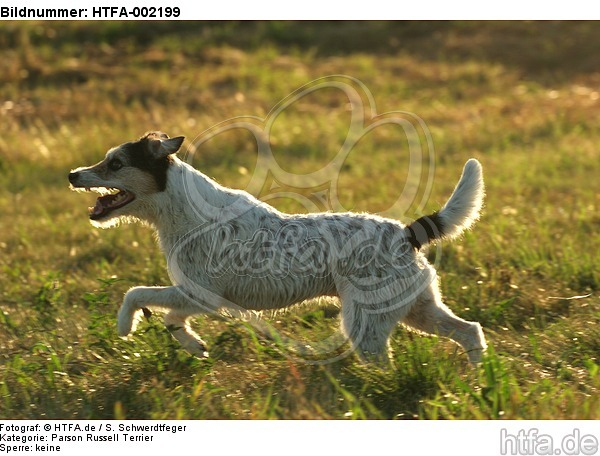 Parson Russell Terrier / HTFA-002199