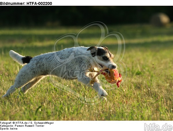 Parson Russell Terrier / HTFA-002200