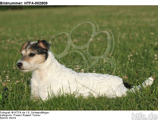 Parson Russell Terrier / HTFA-002809