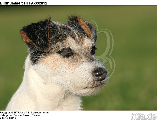 Parson Russell Terrier / HTFA-002812