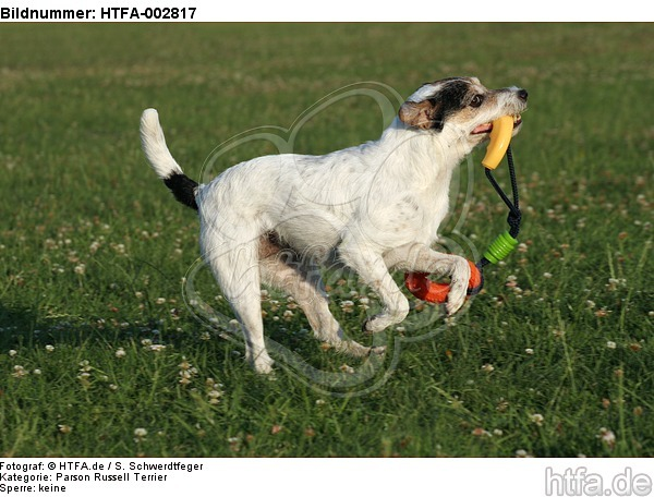 Parson Russell Terrier / HTFA-002817