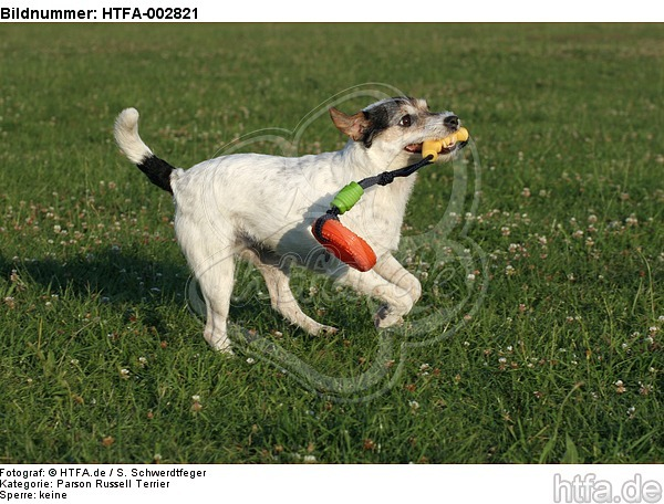 Parson Russell Terrier / HTFA-002821