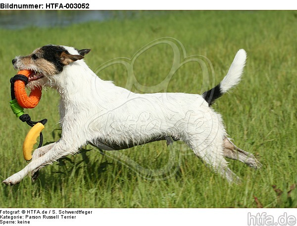 Parson Russell Terrier / HTFA-003052