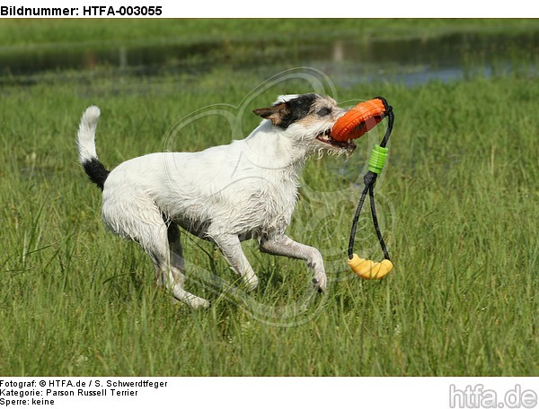 Parson Russell Terrier / HTFA-003055