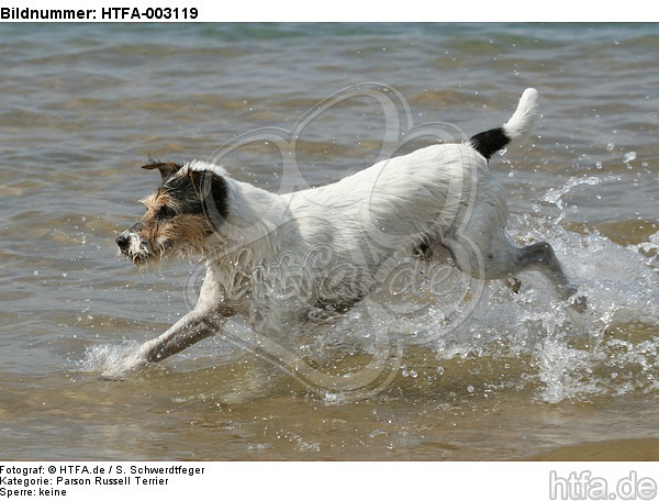 Parson Russell Terrier / HTFA-003119