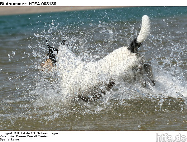 Parson Russell Terrier / HTFA-003136