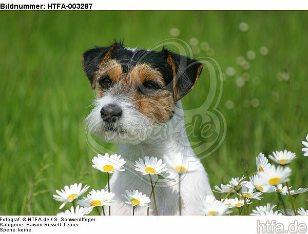 Parson Russell Terrier / HTFA-003287