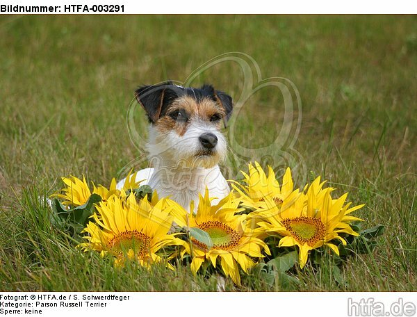 Parson Russell Terrier / HTFA-003291