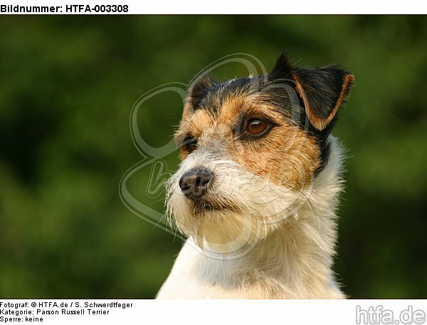 Parson Russell Terrier / HTFA-003308