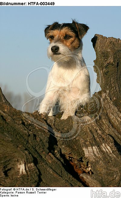 Parson Russell Terrier / HTFA-003449
