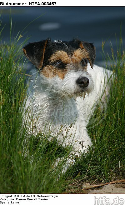Parson Russell Terrier / HTFA-003457