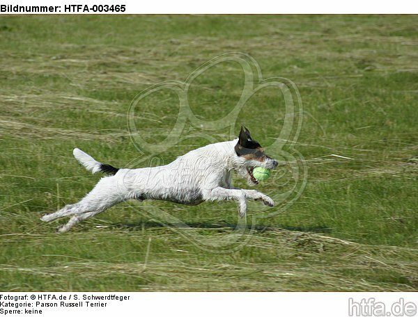 Parson Russell Terrier / HTFA-003465