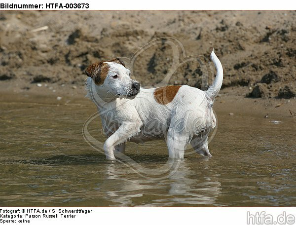 Parson Russell Terrier / HTFA-003673