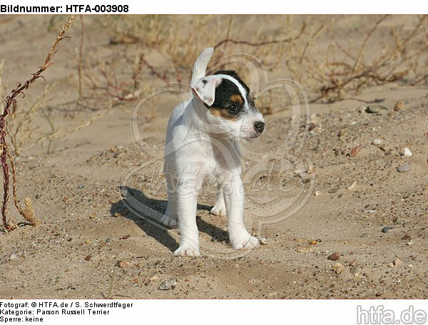 Parson Russell Terrier Welpe / parson russell terrier puppy / HTFA-003908