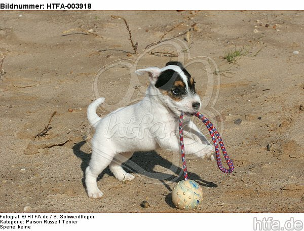 Parson Russell Terrier Welpe / parson russell terrier puppy / HTFA-003918
