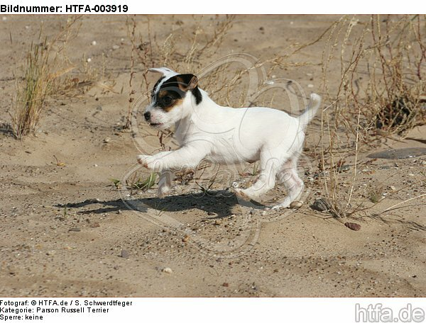Parson Russell Terrier Welpe / parson russell terrier puppy / HTFA-003919