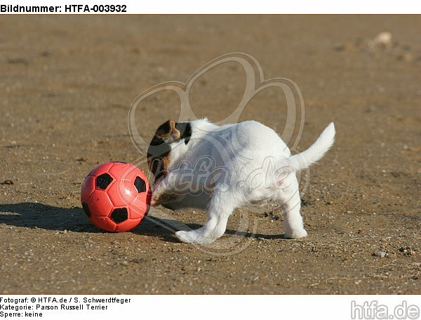 Parson Russell Terrier Welpe / parson russell terrier puppy / HTFA-003932