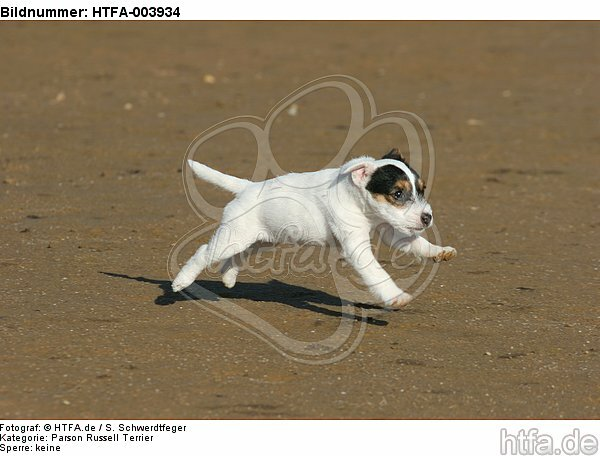 Parson Russell Terrier Welpe / parson russell terrier puppy / HTFA-003934