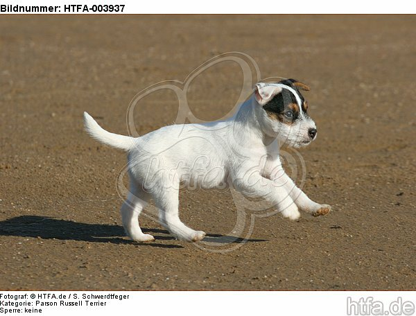 Parson Russell Terrier Welpe / parson russell terrier puppy / HTFA-003937