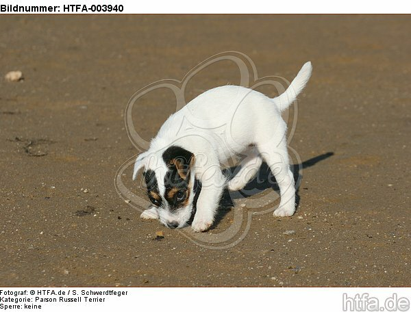 Parson Russell Terrier Welpe / parson russell terrier puppy / HTFA-003940
