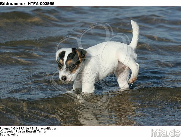 Parson Russell Terrier Welpe / parson russell terrier puppy / HTFA-003955
