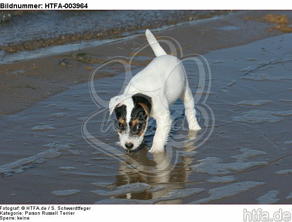 Parson Russell Terrier Welpe / parson russell terrier puppy / HTFA-003964